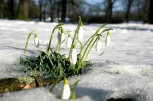 schneeglöckchen bei tauwetter